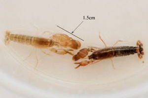 Snapping shrimp create a lot of background noise underwater.